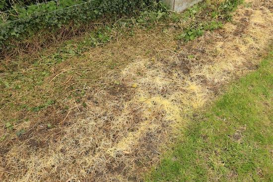 After six weeks under plastic, grass not dead but weaker
