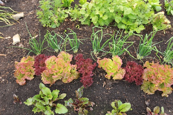 Leaf lettuce, spring onion and beetroot which are struggling