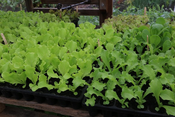 CD60 module trays lettuce plants for summer are 19 days old