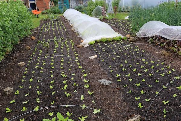 Lettuce planting for summer harvests