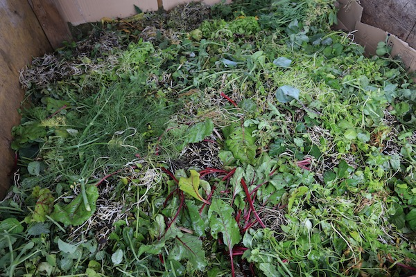 Compost heap full of recent bindweed roots!