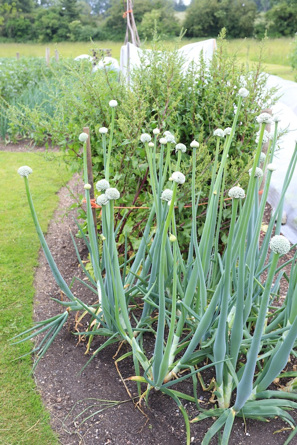 Onions & beetroot and carrots growing for seed saving