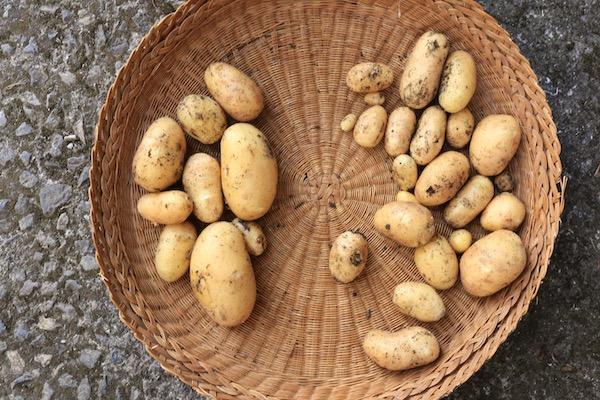 Potato harvestsPotato harvests 14th June from two plants