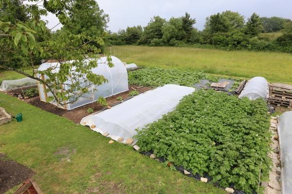 No Dig New area potatoes etc 27th June