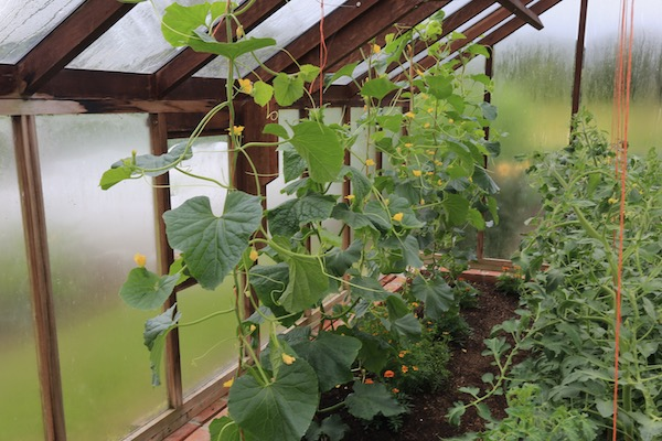 Melons are growing fast in the greenhouse