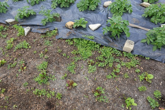 This ground had already been tackled three times with removal of bind weed.