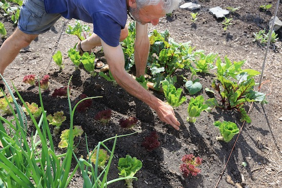Drawing drills by hand for intersowing carrots between lettuce