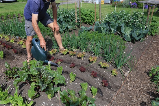 Watering drills before intersowing carrots between lettuce