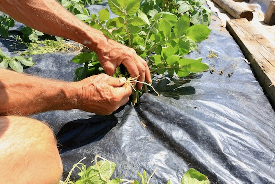 Removing bindweed from around potatoes growing in black polythene