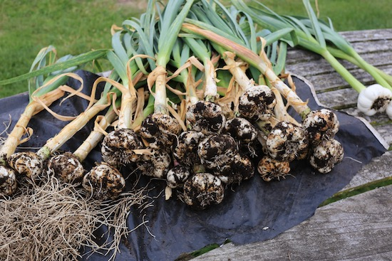 Garlic just harvested from the greenhouse, before cleaning