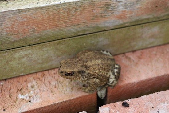 A toad popped out of a hole from lifting garlic