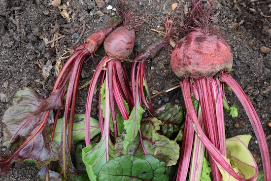 One multisown clump of Kings Seeds 2021 Boltardy beetroot