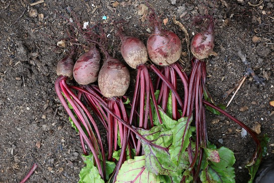 One multisown clump of Mr Fothergills Seeds 2021 Pablo F1 beetroot