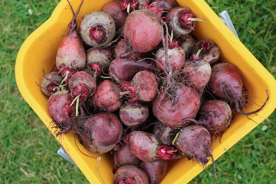 Harvest of poor quality Boltardy beetroot