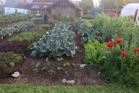 Oriental poppies fifth summer, tall peas, broccoli, lettuce picked 6 weeks so far