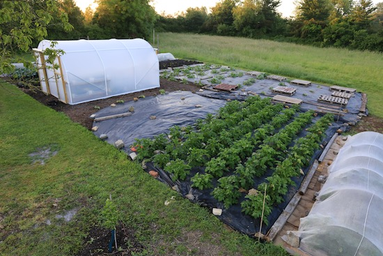 Potatoes and squash mulched with black polythene against bindweed 13th June