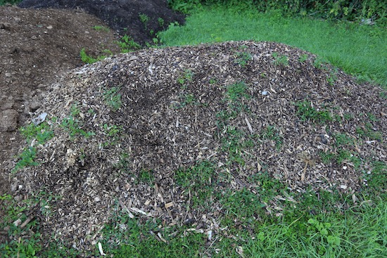 Pile of woodchip shows the power of bindweed