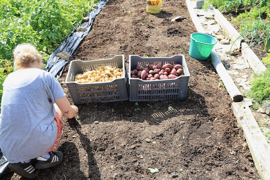 Potatoes harvested, removing bindweed upper roots