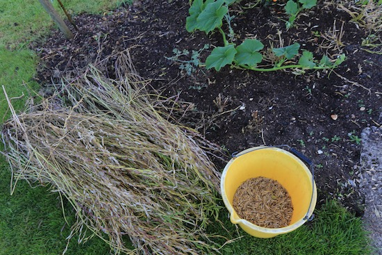 Salad rocket seeding plants pulled and seed rubbed off into bucket, includes pods