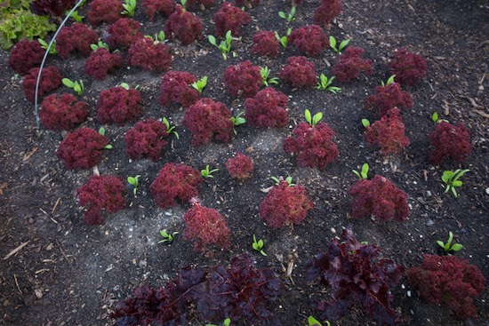 Lollo lettuce we pick weekly with Medania spinach interplanted