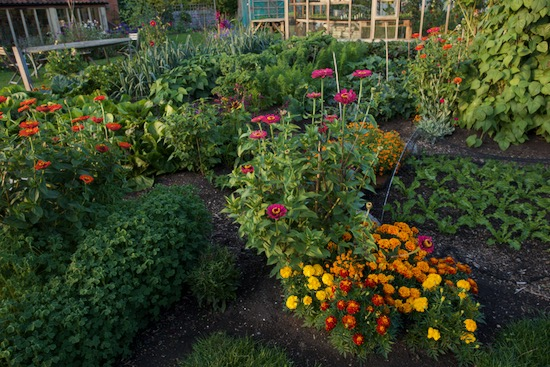 Flowers in the no dig garden include zinnias and marigolds