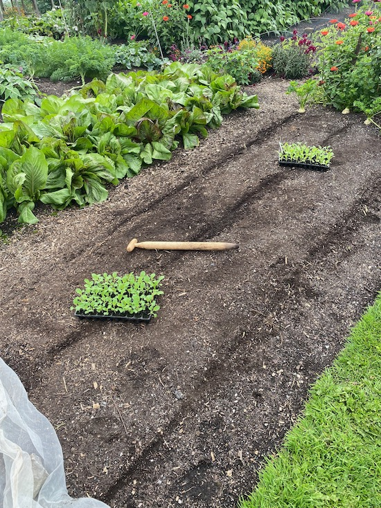 13th August new dibber for transplanting Pak choi
