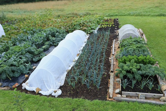 New planting of leeks and raab after potatoes