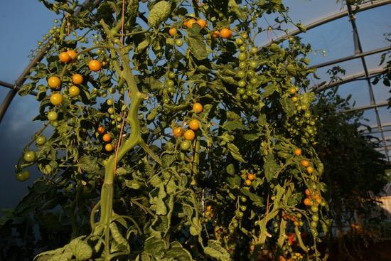 Polytunnel Sungold tomato plants in evening sun
