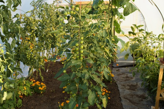 New tunnel tomatoes v healthy, in the best of season now