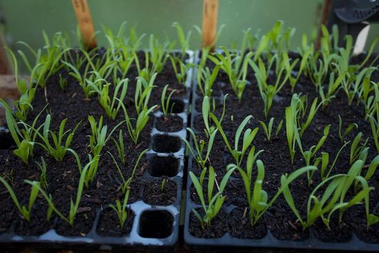 Medania spinach 15 days ready to plant CD60 tray