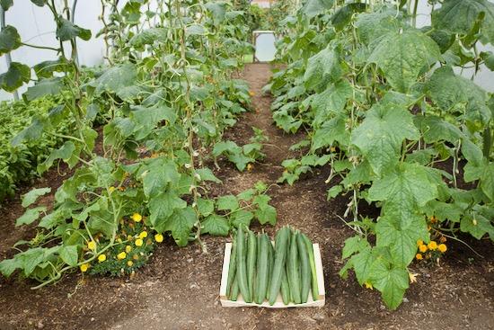 Cucumber harvest 22nd September polytunnel