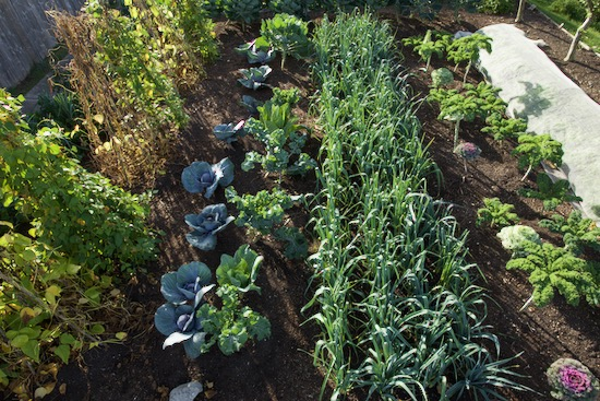 No dig, no rotation, seventh year of cabbages and leeks in the same beds