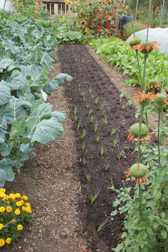 Bed transplanted with multisown spring onions,