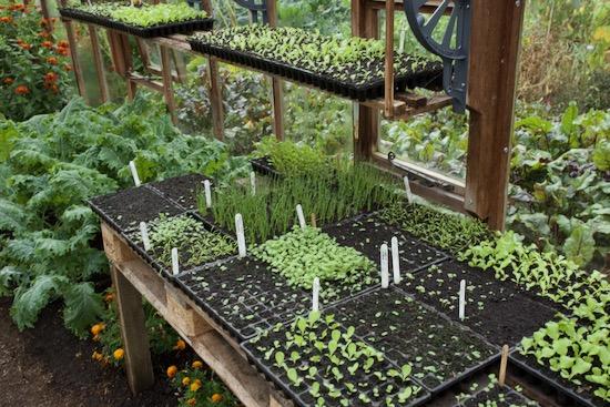 Propagation skills, seedlings for winter salads