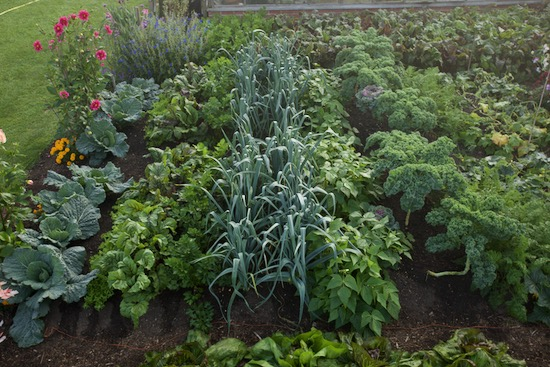Polycropping and close spacings of multisown plants, all second planting